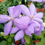 Клематис Миссис Чолмондели Clematis Mrs Cholmondeley, h40см горшок d12см